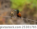 Chestnut Munia perching on a branch 25301765