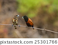 Chestnut Munia perching on a branch 25301766