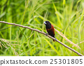 Chestnut Munia perching on a branch 25301805