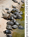 Group of turtles at water edge 25305165