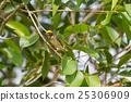 Streaked Weaver (Ploceus manyar) 25306909