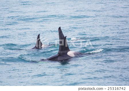 Orca 25316742