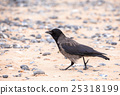 carrion crow on the beach in Helgoland 25318199