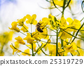 close up of yellow canola plant 25319729