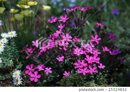 시레네 · 카로리니아나 꽃말은 '미련' 25324832