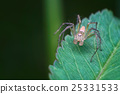 Jumper spider on green leaves 25331533