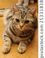 American Short Hair Ameshaw Brown Tabby 25331838