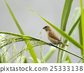 Image of ricebird perched on a green leaf. 25333138