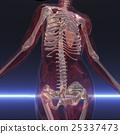 anatomy, spine, pelvis 25337473