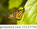 butterflies butterfly insect 25337736