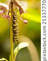 butterflies butterfly caterpillar 25337770