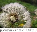 blowball, dandelion, morning dew 25338113