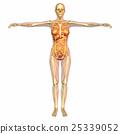 anatomy, skeleton, skeletal 25339052
