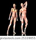 woman, anatomy, man 25339055