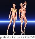 woman, anatomy, man 25339059