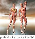 woman, anatomy, man 25339061