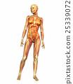woman, anatomy, human 25339072
