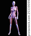 anatomy, skeleton, skeletal 25339099