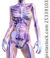 anatomy, stomach, skeleton 25339103