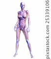 anatomy, skeleton, skeletal 25339106