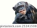 动物 黑猩猩 猴子 25341508
