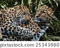 게임, 육식 동물, 고양이 25343660