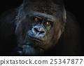 猿人 猴子 灵长类动物 25347877