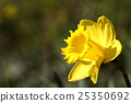 bloom, gorgeous, narcissus 25350692