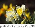 blossom, daffodil, flowers 25350699