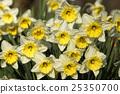 blossom, daffodil, flowers 25350700
