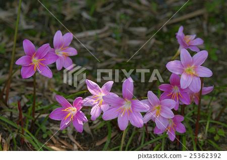 Saffron Moddoki 25362392
