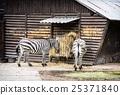 Pair of Mountain zebra - Equus zebra hartmannae 25371840