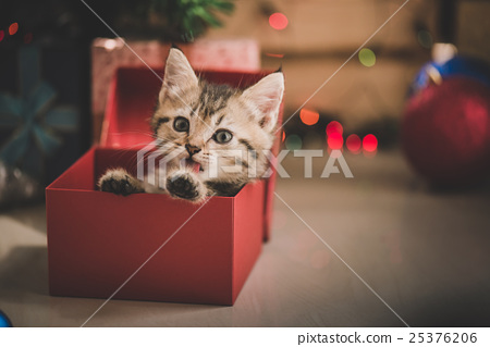 kitten playing in a gift box 25376206