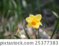 Yellow daffodil flower 25377383