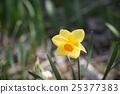 Yellow daffodil flower 25377383