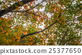 Japanese maple in autumn season,Dazaifu Japan 25377650