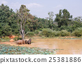 Young Asian elephants bathing 25381886