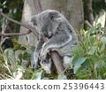 หมีโคอะล่า,หลับ,สัตว์ 25396443