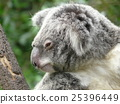 mammalian, marsupial, koala bear 25396449