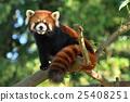 小熊貓 動物 仙台 25408251
