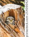 Spotted Owlet (Athene Brama) in tree hollow 25409042