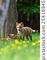 蝦夷紅狐狸 狐狸 蒲公英 25416945