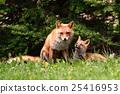 育兒 蝦夷紅狐狸 父母和小孩 25416953