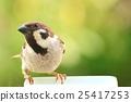 麻雀 野生鳥類 野鳥 25417253