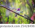 Anna's Hummingbird - Calypte anna 25428496