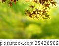 楓樹 紅楓 楓葉 25428509