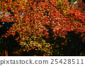 楓樹 紅楓 楓葉 25428511