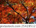 楓樹 紅楓 楓葉 25428512