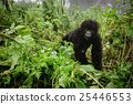 Small mountain gorilla in the forest 25446553