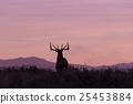 bull, elk, wildlife 25453884